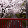 "Cherry Blossoms Slope  ""Sakurazaka"""