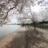 Cherryblossom2011