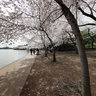 Cherryblossom20112