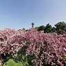Cherry Blossom in the Seepark, Freiburg (Hanami)