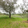 Old Olive Grove, Tessenanno, Italy