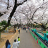 Cherry blossom in Yanaka cemetery