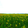 Rapeseed - Golden Valley