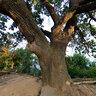 Магический дуб. Magic oak