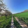 Cherry blossom - Walberla - 2