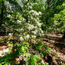 Mountain Laurel, Hartshorne Woods