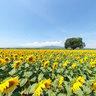 Sunflowers-Girasoli-Sonnenblumen