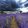 Lavender Farm Falkland, Somerset