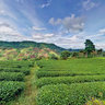 Doi Mae salong - Green Tea Farm