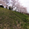 Sakura blossom along tamagawa river