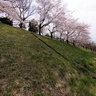 Sakura blossom along tamagawa river