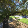 California Live Oak, Loma Alta Park