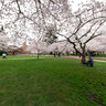 Cherry trees at University of Washington