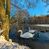 Swans High Barnet Pond London Uk