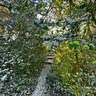 Mistletoe Trail In King George Field Barnet London England